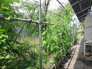 イズミ 環境 エコ グリーンカーテン